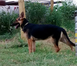 black and red german shepherd for sale t
