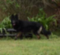 Dov long coat black bicolor german sheph