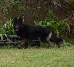 Dov long coat black bicolor german shepherd dog in texas