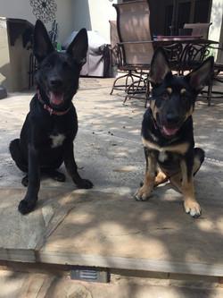 Roma and Hailock solid black german shepherd puppy and black and tan german shepherd puppy