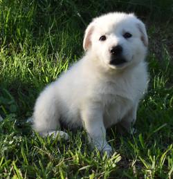 red collar boy white german shepherd pup