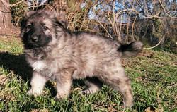silver sable long coat german shepherd puppy in san antonio TX