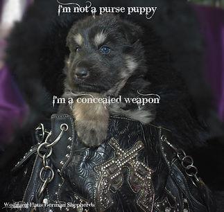 purse puppy german shepherd.jpg