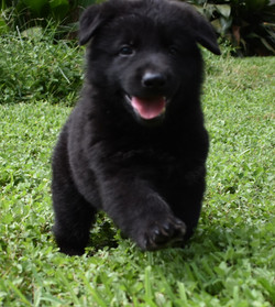 chanel and king solid black german shepherd puppy