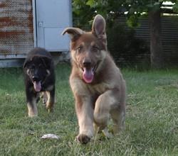 liver and tan german shepherd puppies (2
