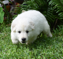 white long coat german shepherd puppy (2