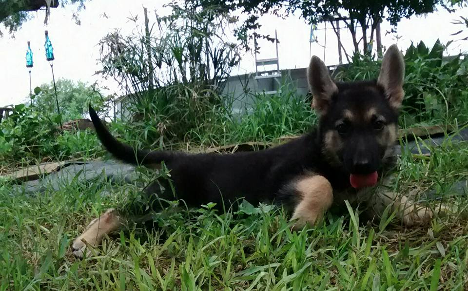 black and tan large german shepherd puppy for sale.jpg
