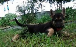black and tan large german shepherd puppy for sale.jpg