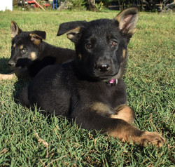 bicolor german shepherd puppy for sale in tx