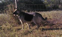 extra large giant german shepherds, wolfgang haus german shepherds.jpg