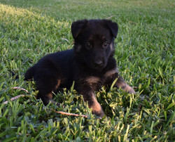 black and tan german shepherd for sale i