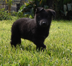 Chanel and king solid black male german shepherd puppy