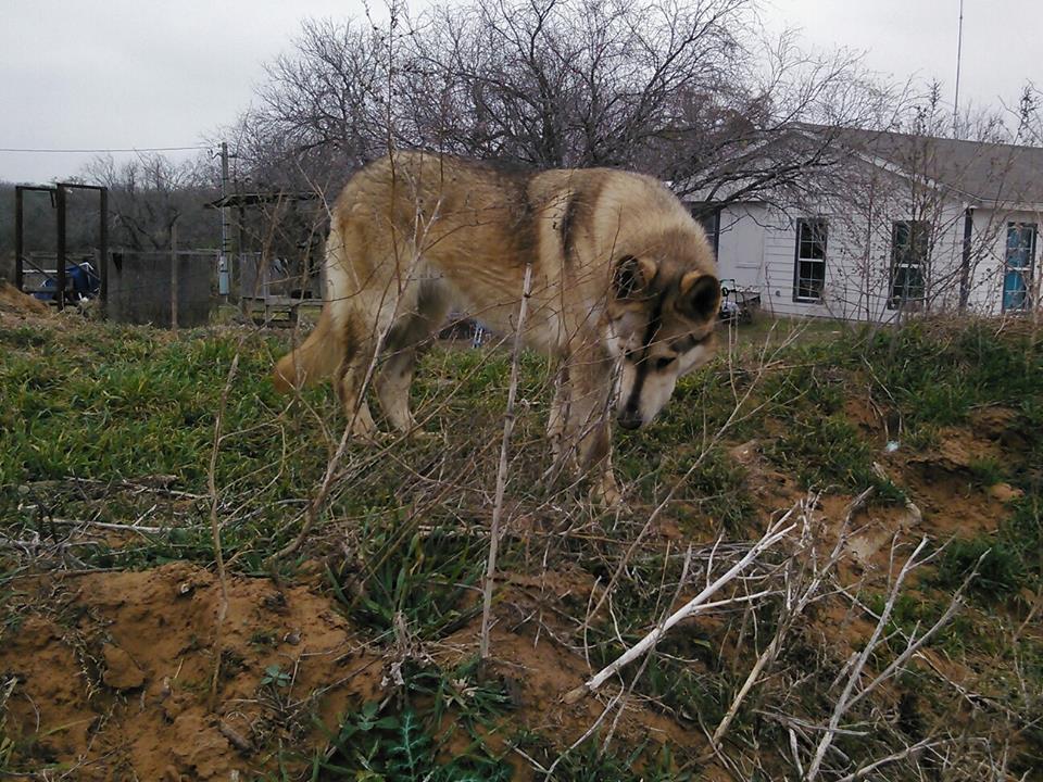 cream sable wolf mask german shepherd wolfgang haus german shepherds.jpg