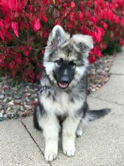 Prada and Brahm, black and silver long coat german shepherd puppy