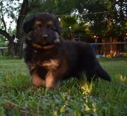 black and tan long coat german shepherd puppy in tx (1)