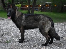 long coat black black sable german sheph