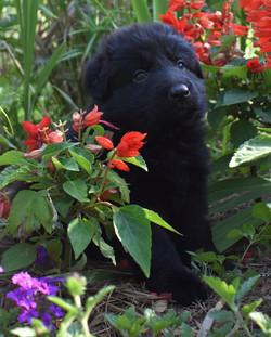 no solid black long coat solid black german shepherd puppy for sale in tx