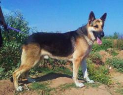 Duke old fashioned german shepherd.jpg