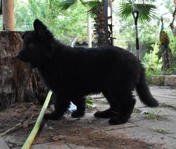 9 week old solid black long coat large g