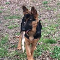 Ruger and Storm male, 7 months 89 lbs, big black and red german shepherd puppy.jpg
