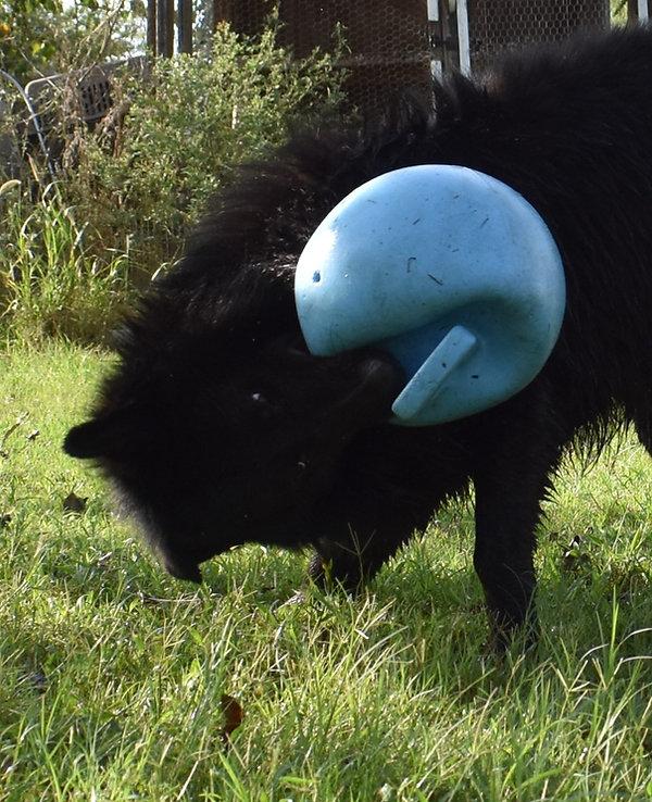 long haired solid black german shepherd