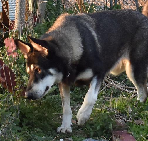wolf mask silver sable german shepherd.J