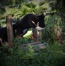 Roma and Hailock black and silver male german shepherd, german shepherd puppy jump for sale