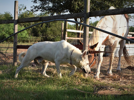 extra large old fashioned straight back white german shepherd and paint horse in texas