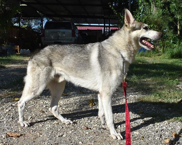 silver sable wolf mask german shepherd, wolfgang haus german shepherds (1).JPG