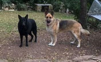 Ziva and Duke large black and tan german shepherd in tx