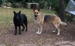 Ziva and Duke large black and tan german shepherd in tx