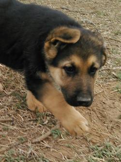 black and red extra large giant german shepherd puppy, wolfgang haus german shepherds