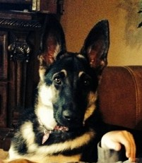 black and tan large straight back german shepherd, wolfgang haus germans shepher