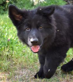 solid black long coat german shepherd puppy