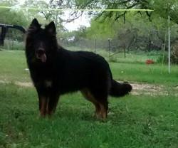 bicolor black and red long coat german shepherd, wolfgang haus german shepherds.jpg