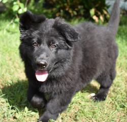 large long coat solid black german shepherd puppy