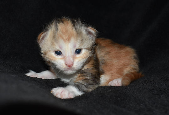 calico maine coon kitten for sale in texas