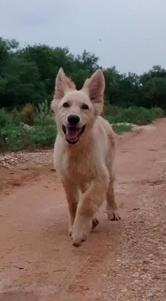 Prada, Chamagne white german shepherd out of Bleau and Ruger.jpg