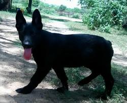Solid black male german shepherd.jpg