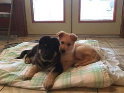 cream maskless sable german shepherd, giant black and tan german shepherd puppy