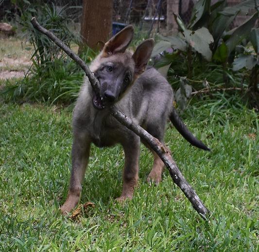 large blue sable german shepherd puppy in texas.JPG