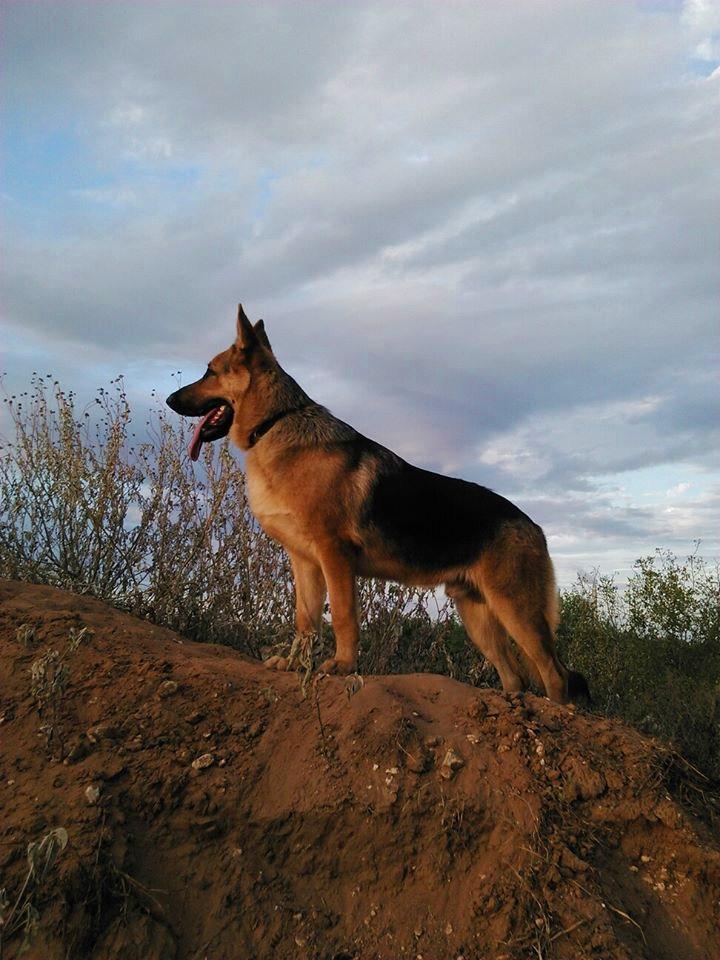 extra large old fashioned black and red german shepherd, wolfgang haus german sh