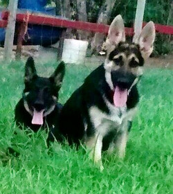 Bleau and Ruger male black and tan extra large german shepherd puppy.jpg
