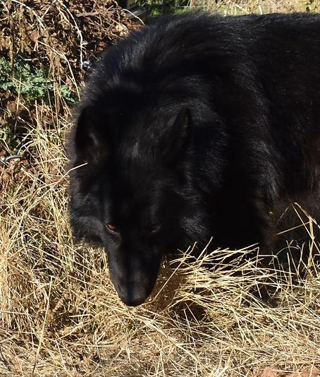 solid black long coat german shepherd br