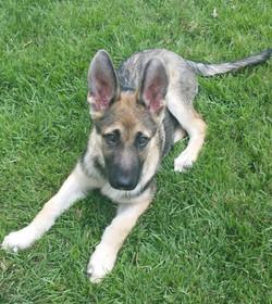 light sable large german shepherd puppy.jpg