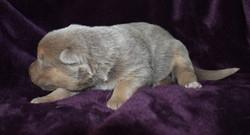 Isabella and tan german shepherd dog, german shepherd puppy for sale in texas