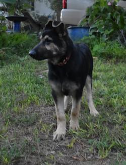 red collar Big huge giant black and silver german shepherd puppy (2)