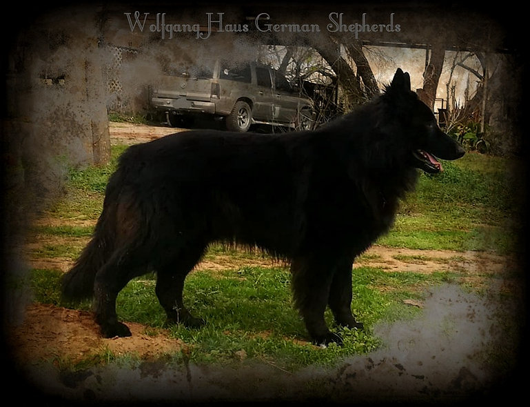 Brahm solid black long haired german she