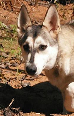 wolf mask silver sable german shepherd texas iced Chanel.jpg