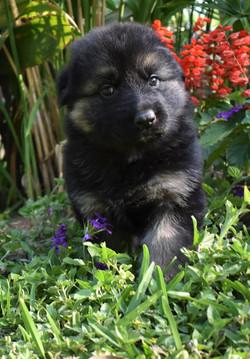 black and tan long coat german shepherd puppy for sale in tx